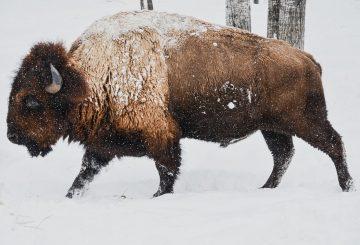 bison-1114091_1280