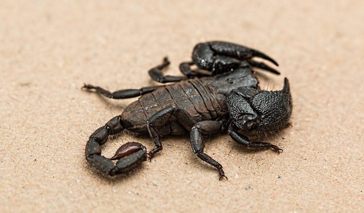 scorpion-1001742_1280
